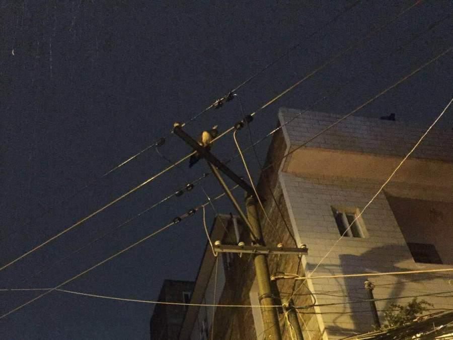 孔雀飞上电线 昭阳森警冒雨救助